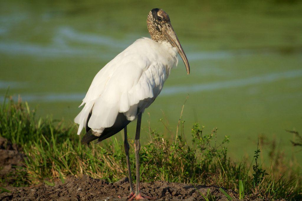 Wood Stork, Shiloh (3)